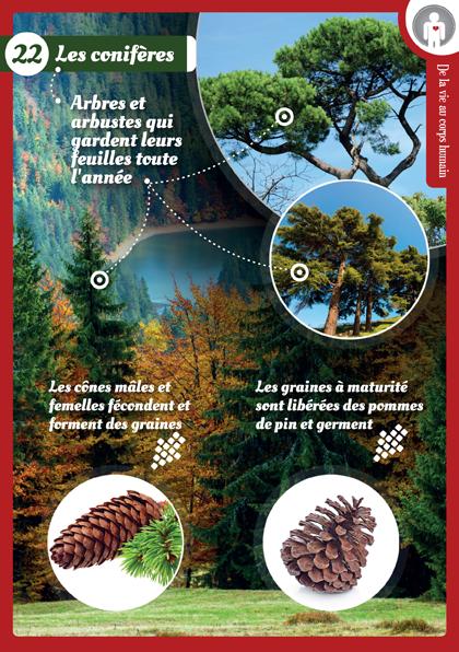 22 conifere