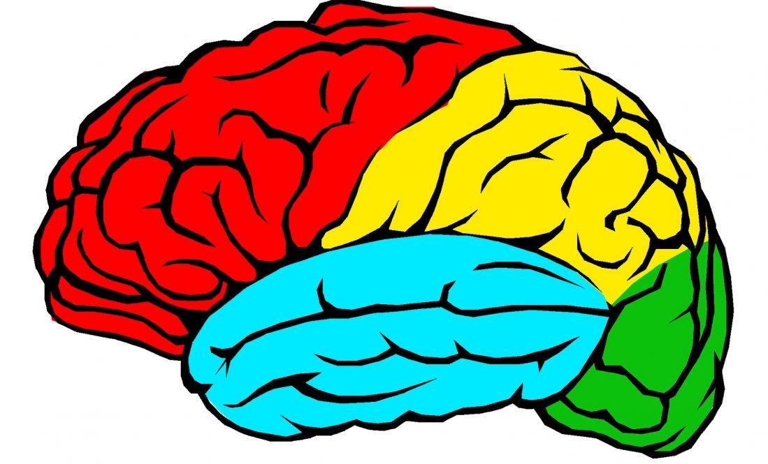 Pourquoi le cerveau est-il constitué de 4 lobes ?